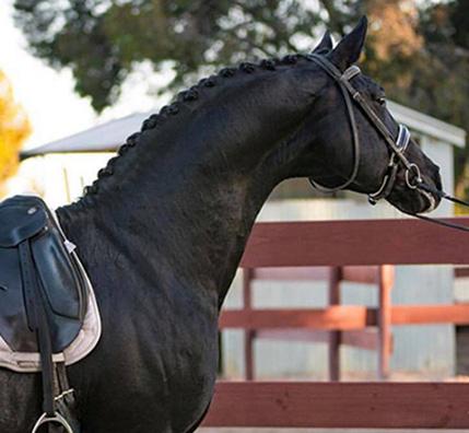 Danson Dressage Stallions